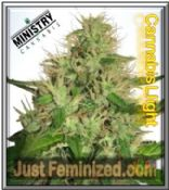 Ministry of Cannabis Female Cannabis Light Weed Seeds Strain for Sale